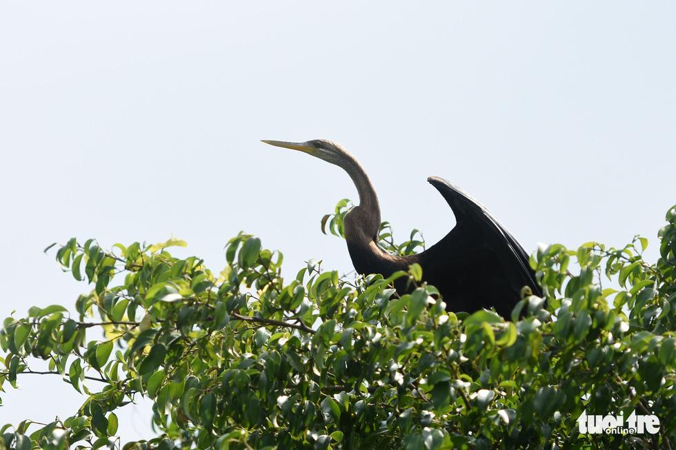 Cận cảnh đàn chim cổ rắn quý hiếm ở Đồng Nai - Ảnh 1.