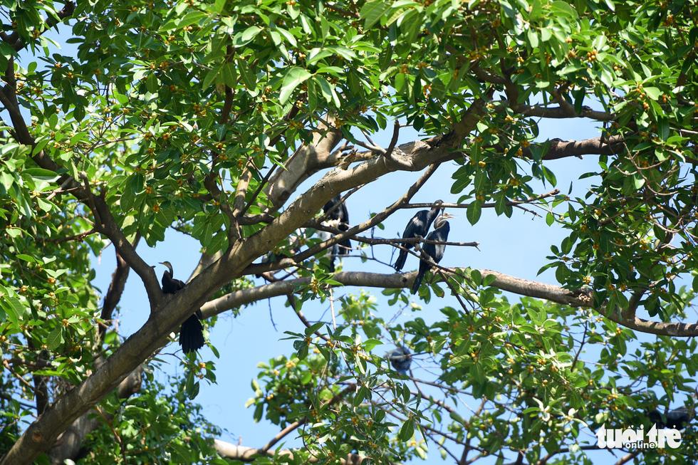 Cận cảnh đàn chim cổ rắn quý hiếm ở Đồng Nai - Ảnh 6.