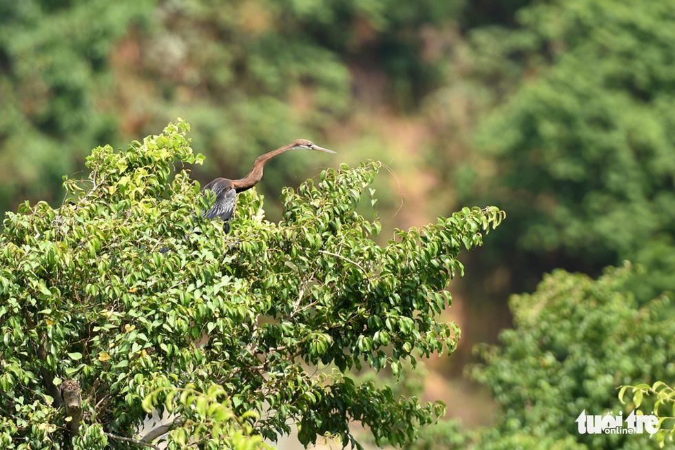 Cận cảnh đàn chim cổ rắn quý hiếm ở Đồng Nai - Ảnh 7.