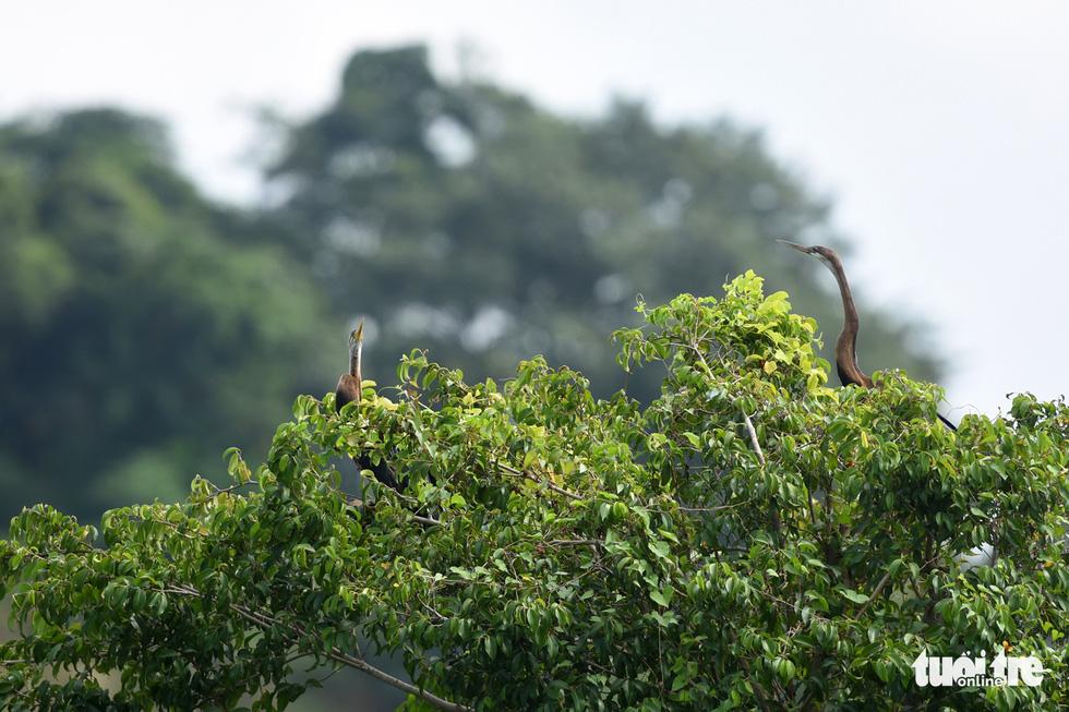 Cận cảnh đàn chim cổ rắn quý hiếm ở Đồng Nai - Ảnh 8.