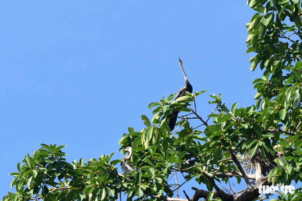 Cận cảnh đàn chim cổ rắn quý hiếm ở Đồng Nai - Ảnh 9.