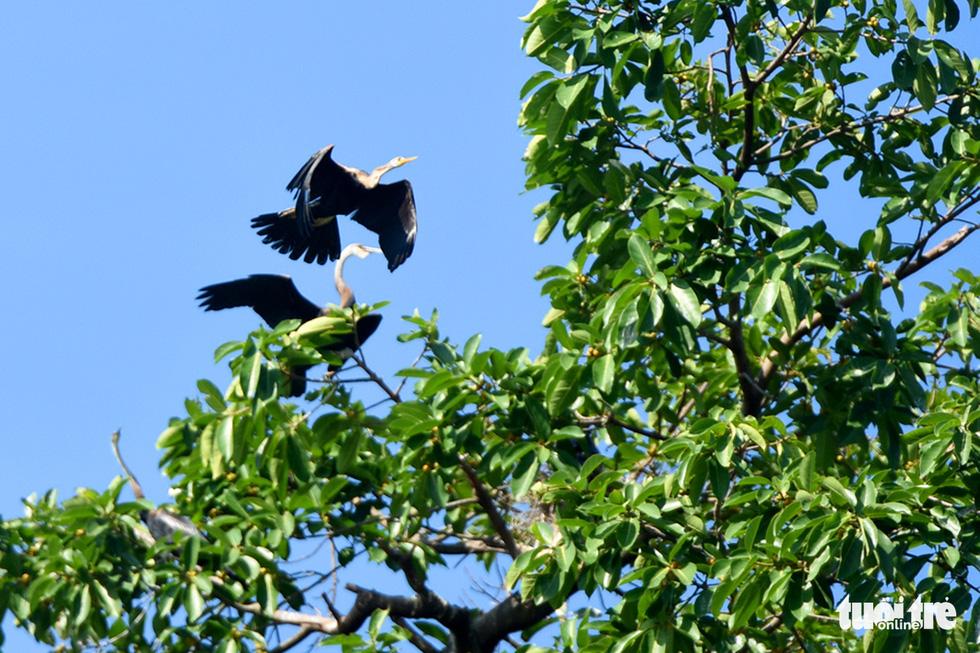 Cận cảnh đàn chim cổ rắn quý hiếm ở Đồng Nai - Ảnh 10.