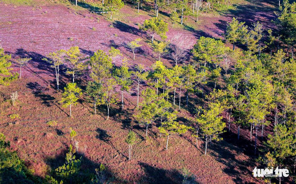 Cao nguyên Langbiang kỳ ảo mùa hội cỏ hồng - Ảnh 1.