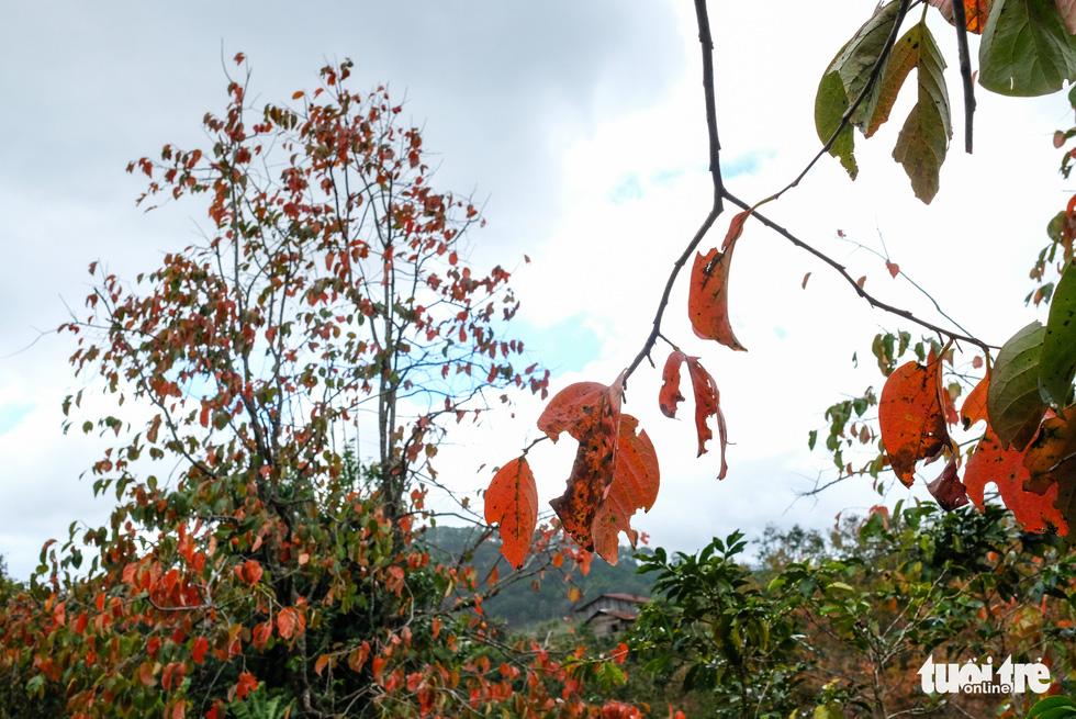 Lá đỏ rực rỡ Đà Lạt - Lang Bian khiến du khách ngẩn ngơ - Ảnh 5.