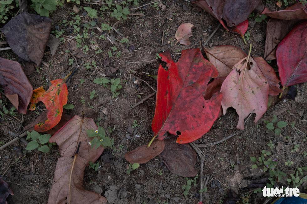 Lá đỏ rực rỡ Đà Lạt - Lang Bian khiến du khách ngẩn ngơ - Ảnh 7.