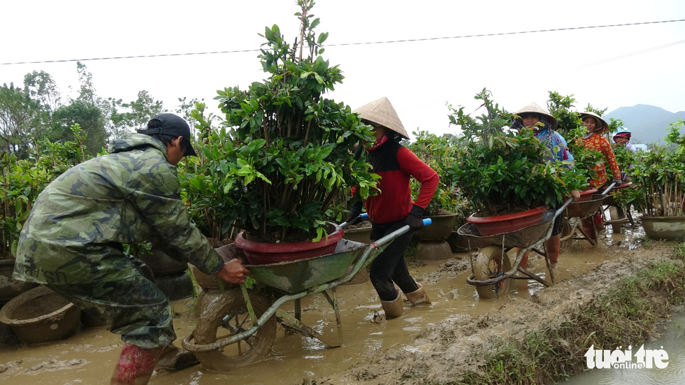 Thủ phủ mai miền Trung đưa mai đi trốn bão - Ảnh 1.