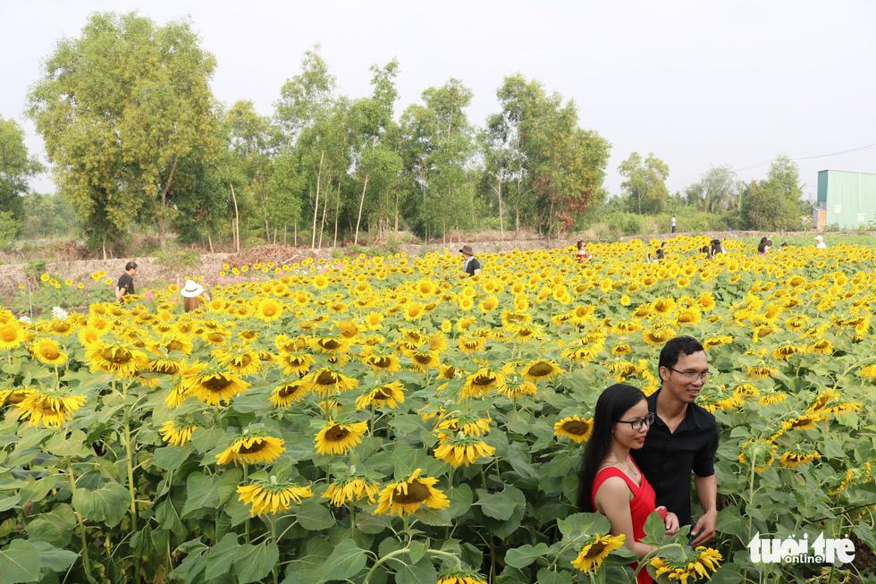 Selfie rực sắc vàng với vườn hướng dương ở TP.HCM   - Ảnh 2.