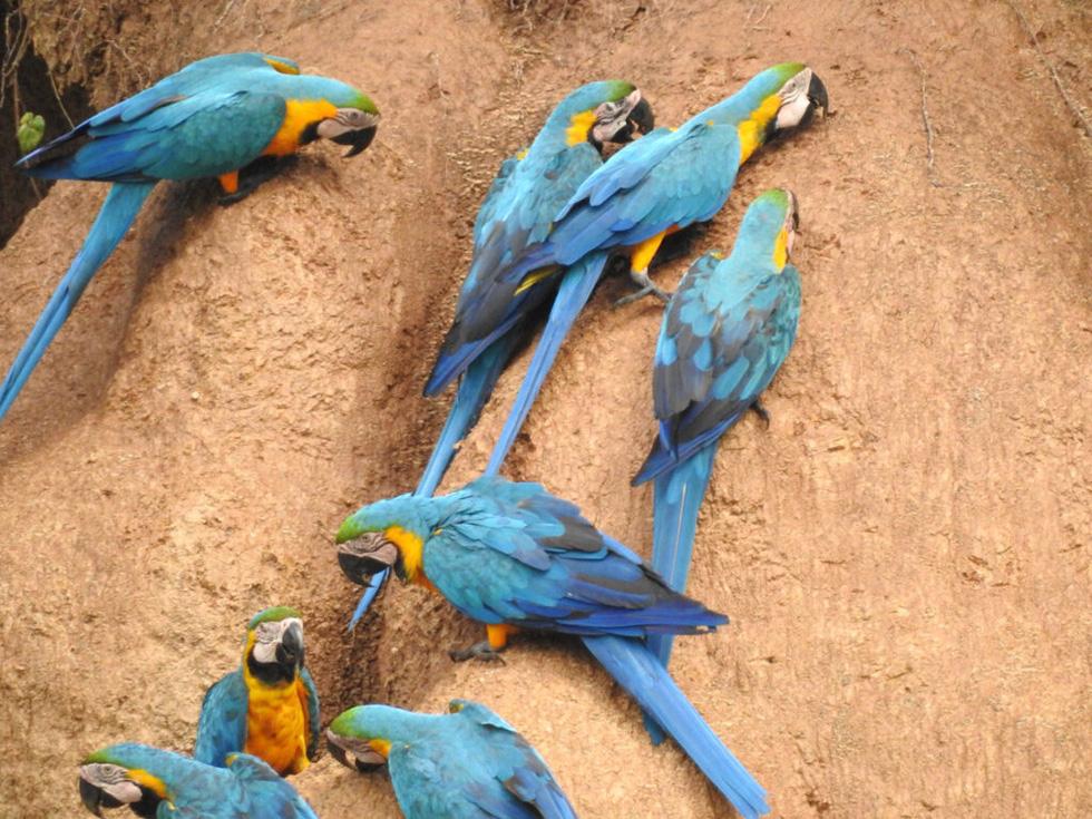 Lạ lùng loài chim sặc sỡ thích ăn đất sét - Ảnh 5.