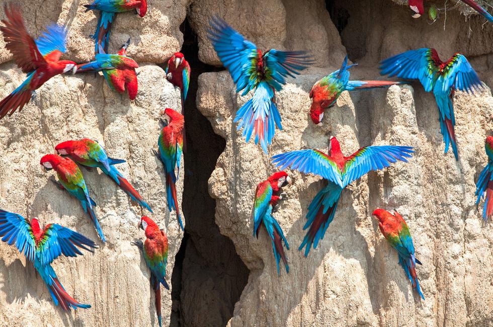 Lạ lùng loài chim sặc sỡ thích ăn đất sét - Ảnh 2.