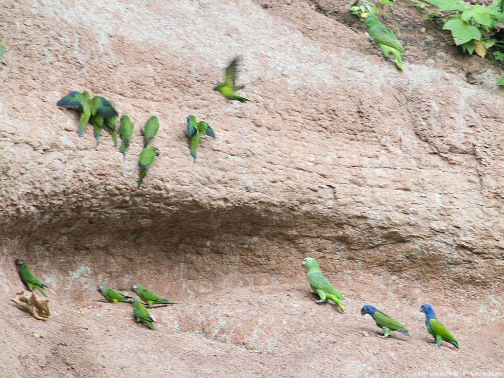 Lạ lùng loài chim sặc sỡ thích ăn đất sét - Ảnh 4.