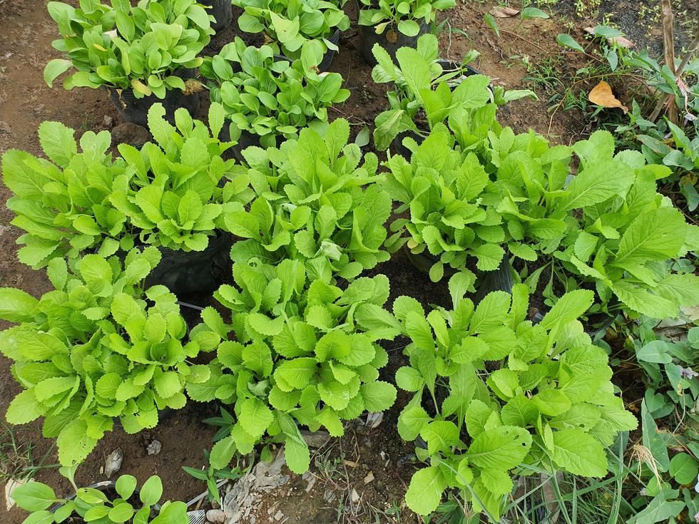 Độc đáo ngôi trường thầy trò trồng đầy bắp cải, rau, hoa - Ảnh 10.