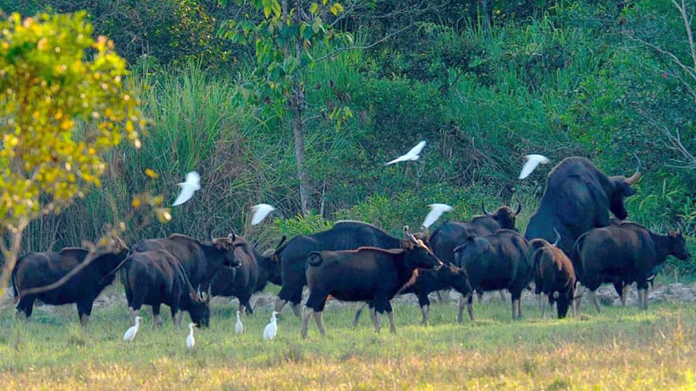 Đàn bò tót đẹp đến sững sờ ở Nam Cát Tiên đã lọt vô ống kính Tăng A Pẩu - Ảnh 3.