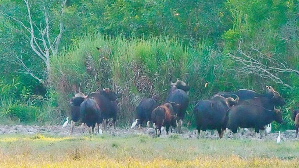 Đàn bò tót đẹp đến sững sờ ở Nam Cát Tiên đã lọt vô ống kính Tăng A Pẩu - Ảnh 5.
