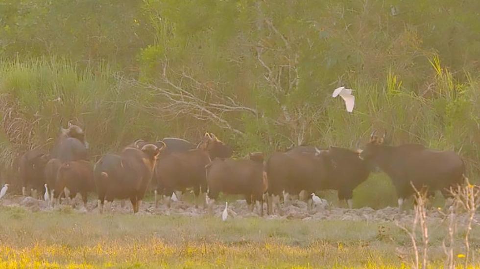 Đàn bò tót đẹp đến sững sờ ở Nam Cát Tiên đã lọt vô ống kính Tăng A Pẩu - Ảnh 6.
