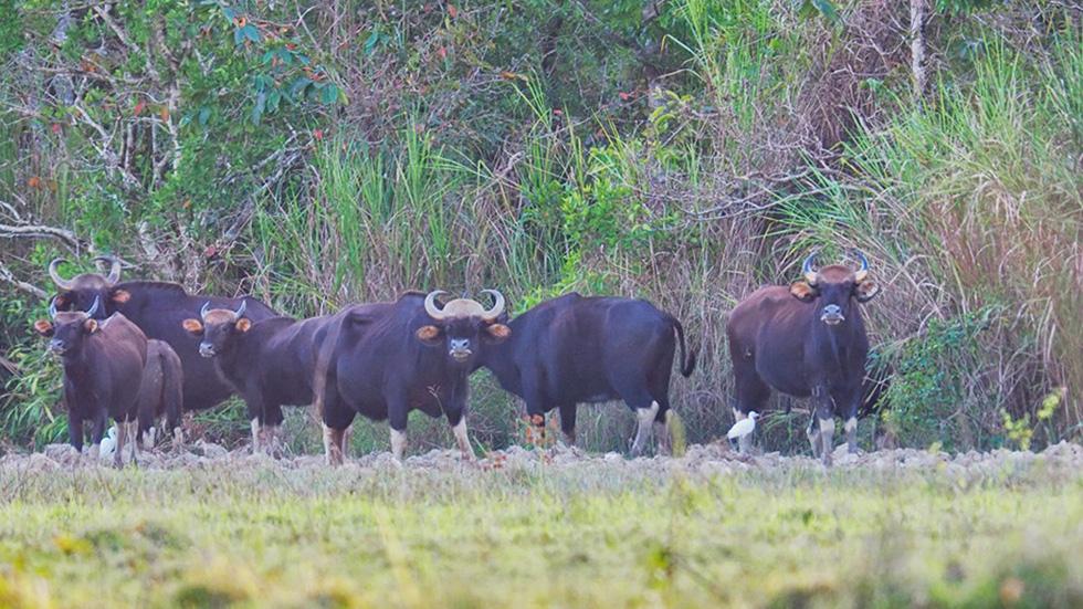 Đàn bò tót đẹp đến sững sờ ở Nam Cát Tiên đã lọt vô ống kính Tăng A Pẩu - Ảnh 7.