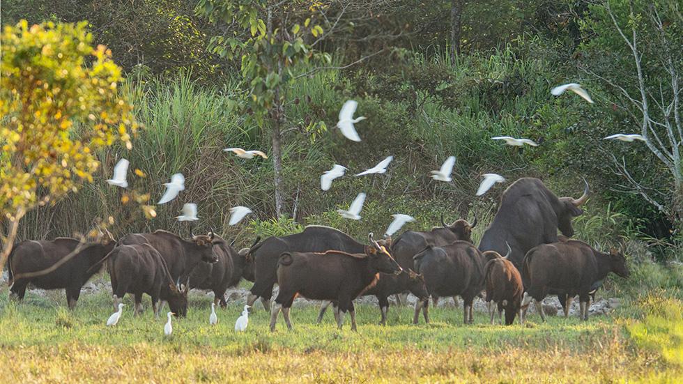 Đàn bò tót đẹp đến sững sờ ở Nam Cát Tiên đã lọt vô ống kính Tăng A Pẩu - Ảnh 1.