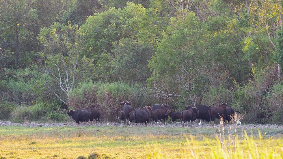 Đàn bò tót đẹp đến sững sờ ở Nam Cát Tiên đã lọt vô ống kính Tăng A Pẩu - Ảnh 9.