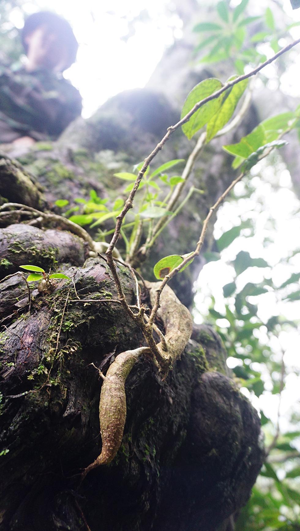 Phóng sự đường rừng: Đi tìm rừng thiêng - Kỳ cuối: Giải mã linh mộc - Ảnh 3.