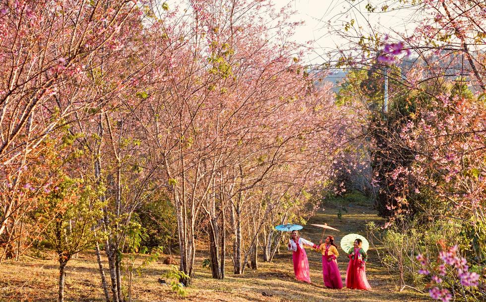 Hoa mai anh đào bung sắc hồng ở Măng Đen - Ảnh 5.