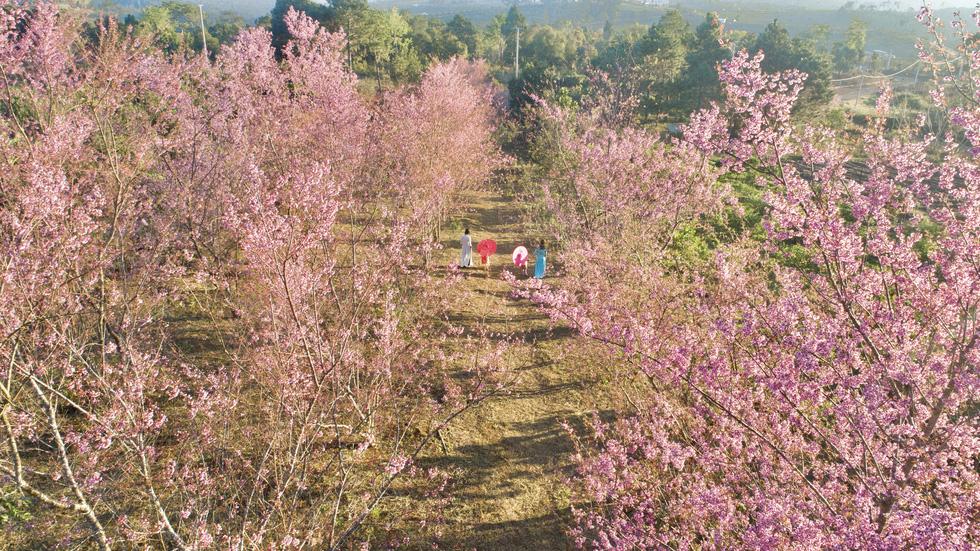 Hoa mai anh đào bung sắc hồng ở Măng Đen - Ảnh 1.