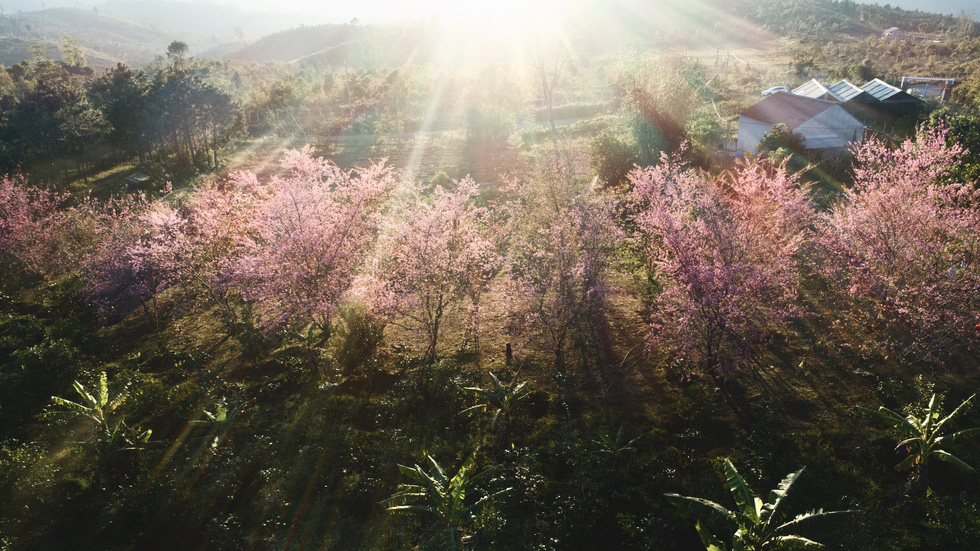 Hoa mai anh đào bung sắc hồng ở Măng Đen - Ảnh 2.