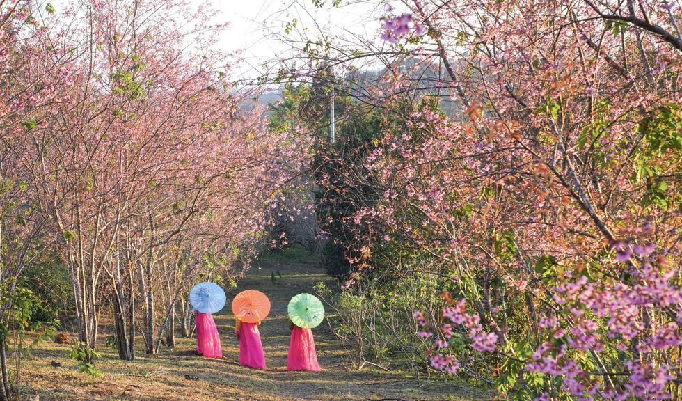 Hoa mai anh đào bung sắc hồng ở Măng Đen - Ảnh 6.