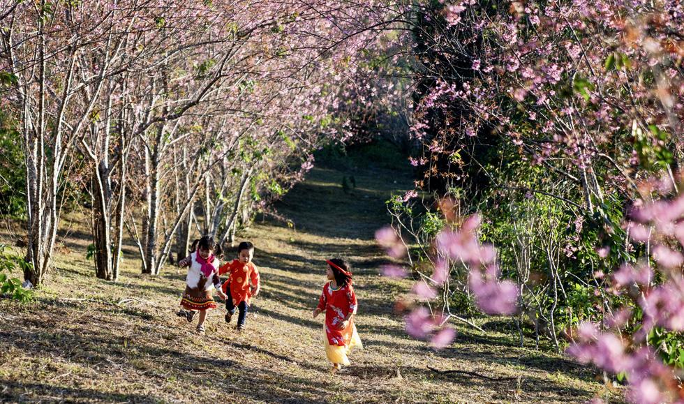 Hoa mai anh đào bung sắc hồng ở Măng Đen - Ảnh 4.
