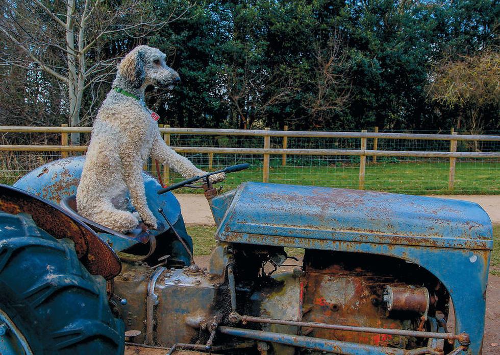 Hài hước chó lái máy kéo, làm dáng chụp hình - Ảnh 2.