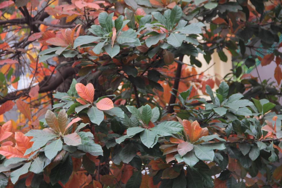 Hà Nội đẹp dịu dàng trong mùa cây thay lá - Ảnh 8.
