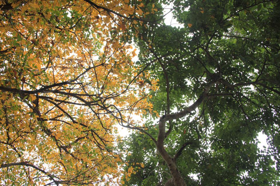 Hà Nội đẹp dịu dàng trong mùa cây thay lá - Ảnh 7.