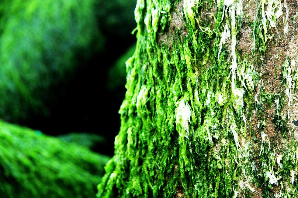 Bãi rêu tóc xanh trên con đường đẹp nhất Nha Trang - Ảnh 7.