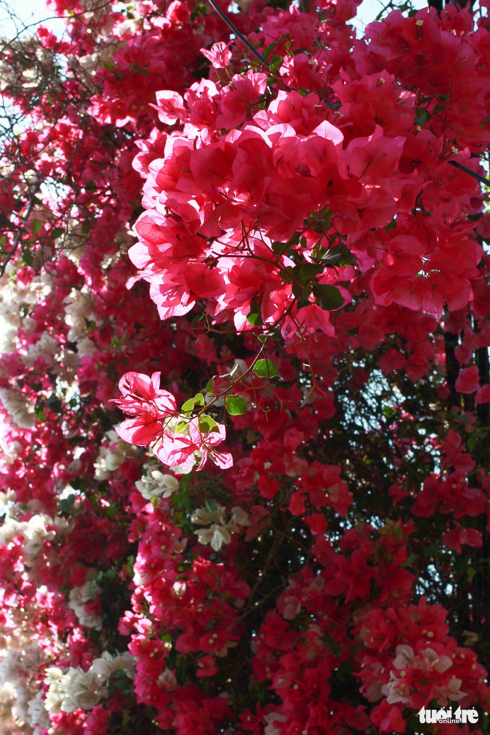 Ngắm hoa giấy bung nở rực rỡ giữa mùa khô Tây Nguyên - Ảnh 6.
