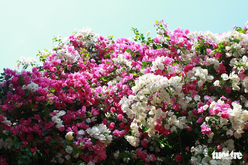 Ngắm hoa giấy bung nở rực rỡ giữa mùa khô Tây Nguyên - Ảnh 5.