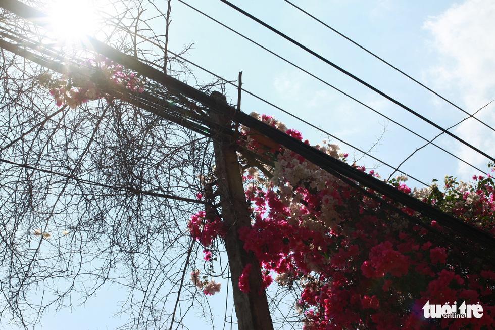 Ngắm hoa giấy bung nở rực rỡ giữa mùa khô Tây Nguyên - Ảnh 4.