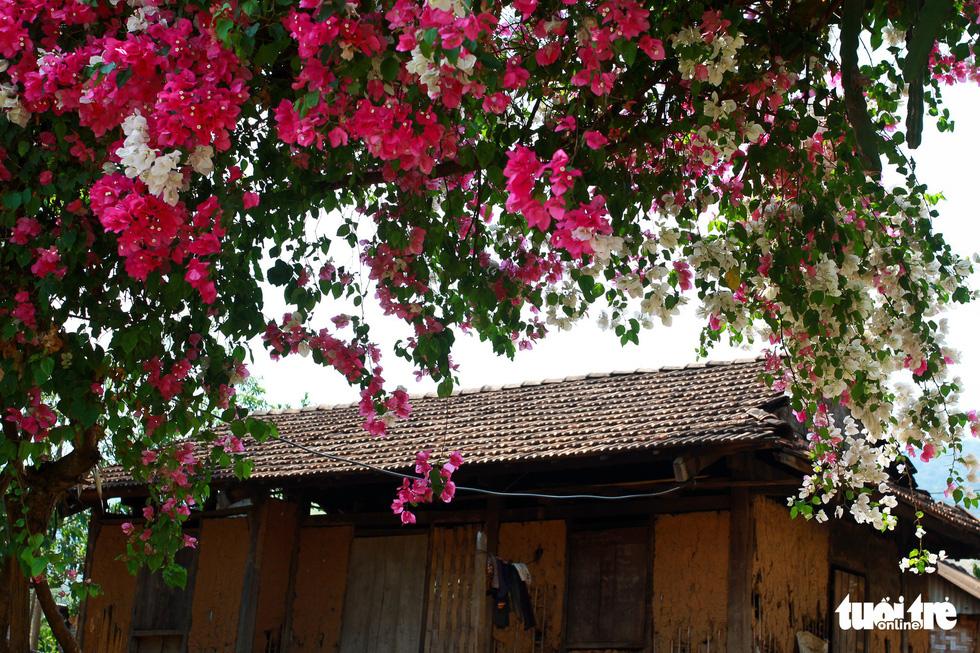Ngắm hoa giấy bung nở rực rỡ giữa mùa khô Tây Nguyên - Ảnh 3.