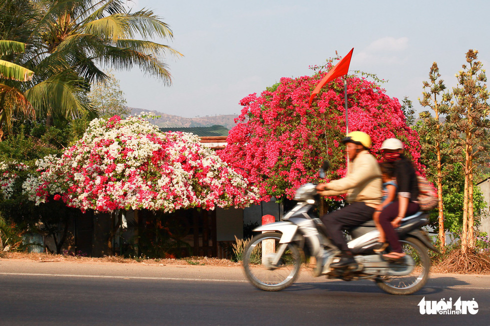 Ngắm hoa giấy bung nở rực rỡ giữa mùa khô Tây Nguyên - Ảnh 1.