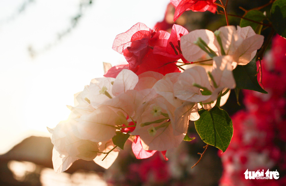 Ngắm hoa giấy bung nở rực rỡ giữa mùa khô Tây Nguyên - Ảnh 7.