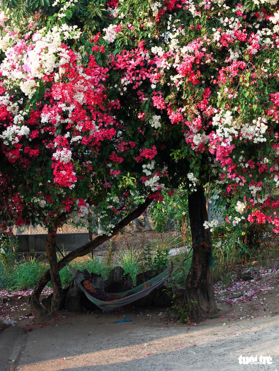 Ngắm hoa giấy bung nở rực rỡ giữa mùa khô Tây Nguyên - Ảnh 2.