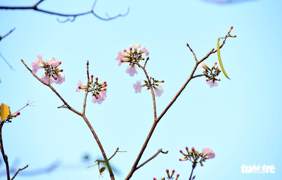 Hoa kèn hồng bung nở sớm, nhuộm tím những góc trời Sài Gòn - Ảnh 2.
