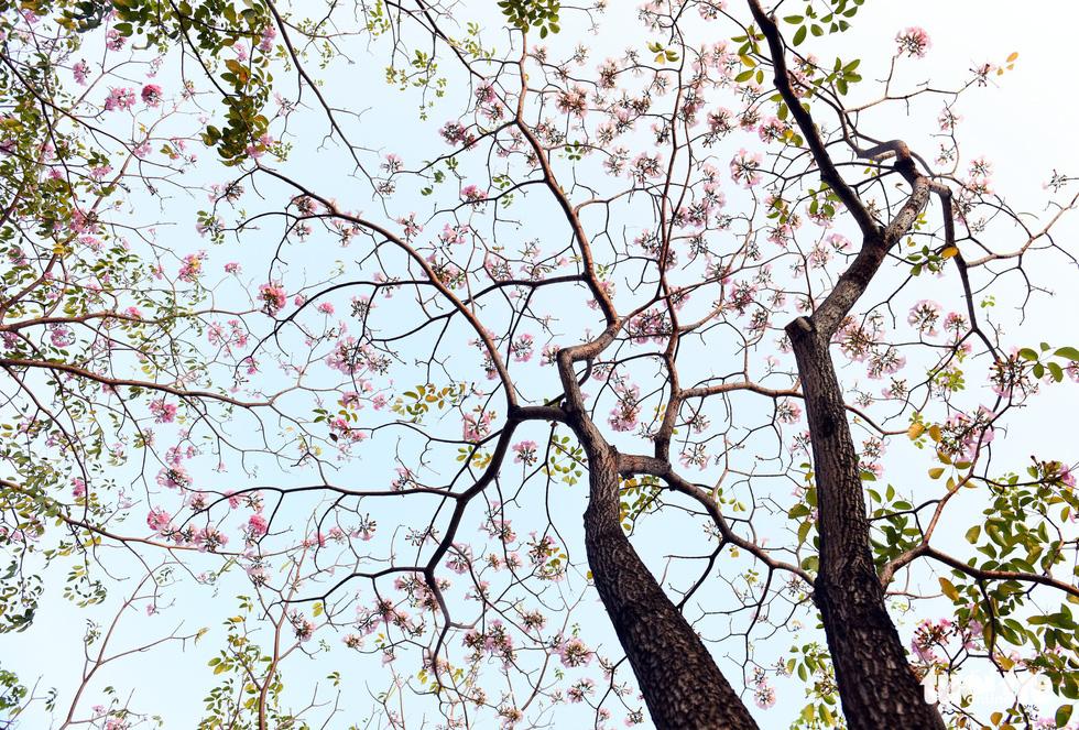 Hoa kèn hồng bung nở sớm, nhuộm tím những góc trời Sài Gòn - Ảnh 1.