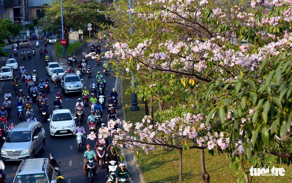 Hoa kèn hồng bung nở sớm, nhuộm tím những góc trời Sài Gòn - Ảnh 5.