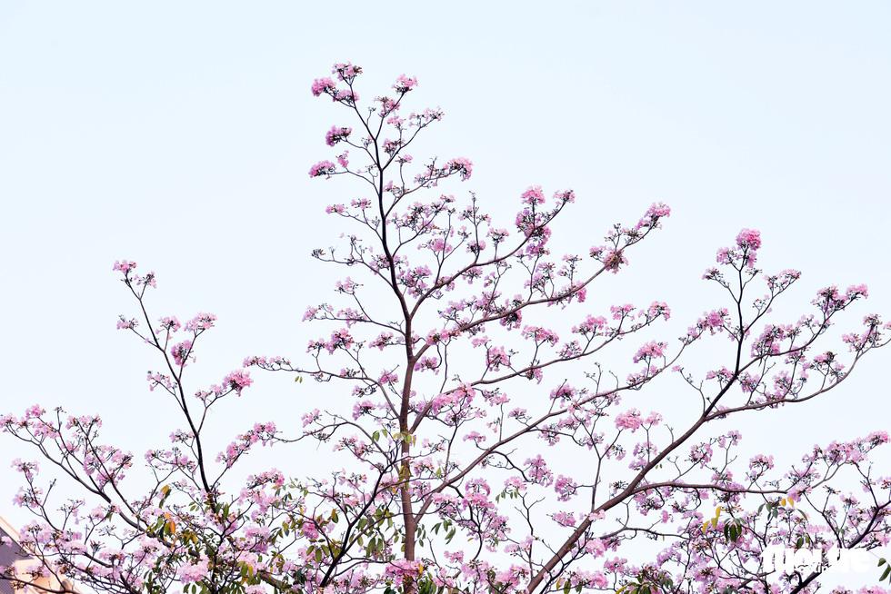 Hoa kèn hồng bung nở sớm, nhuộm tím những góc trời Sài Gòn - Ảnh 9.