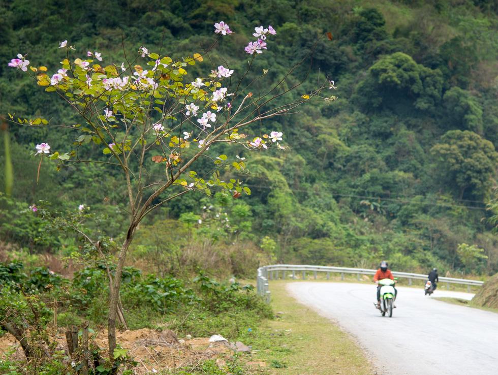 Cung đường 100km ngắm hoa ban rực rỡ miền Tây Bắc - Ảnh 1.