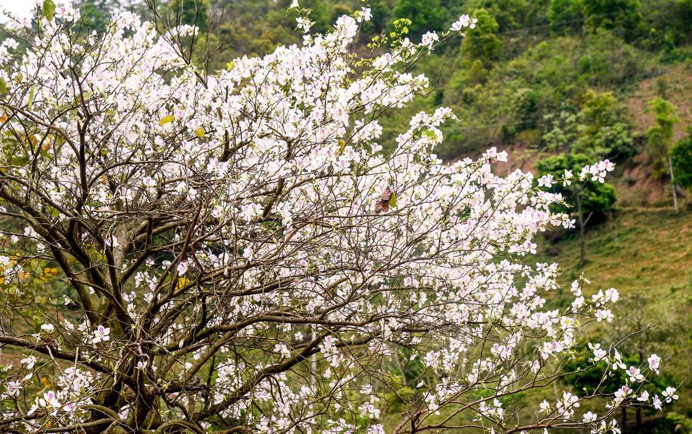 Cung đường 100km ngắm hoa ban rực rỡ miền Tây Bắc - Ảnh 10.