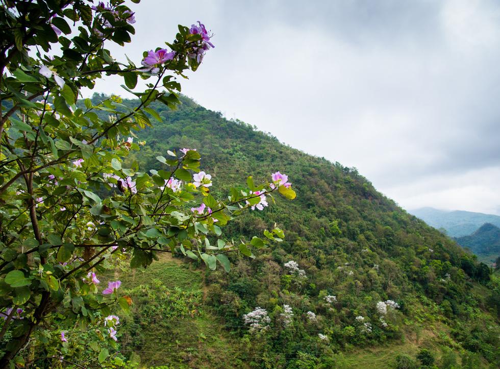 Cung đường 100km ngắm hoa ban rực rỡ miền Tây Bắc - Ảnh 6.