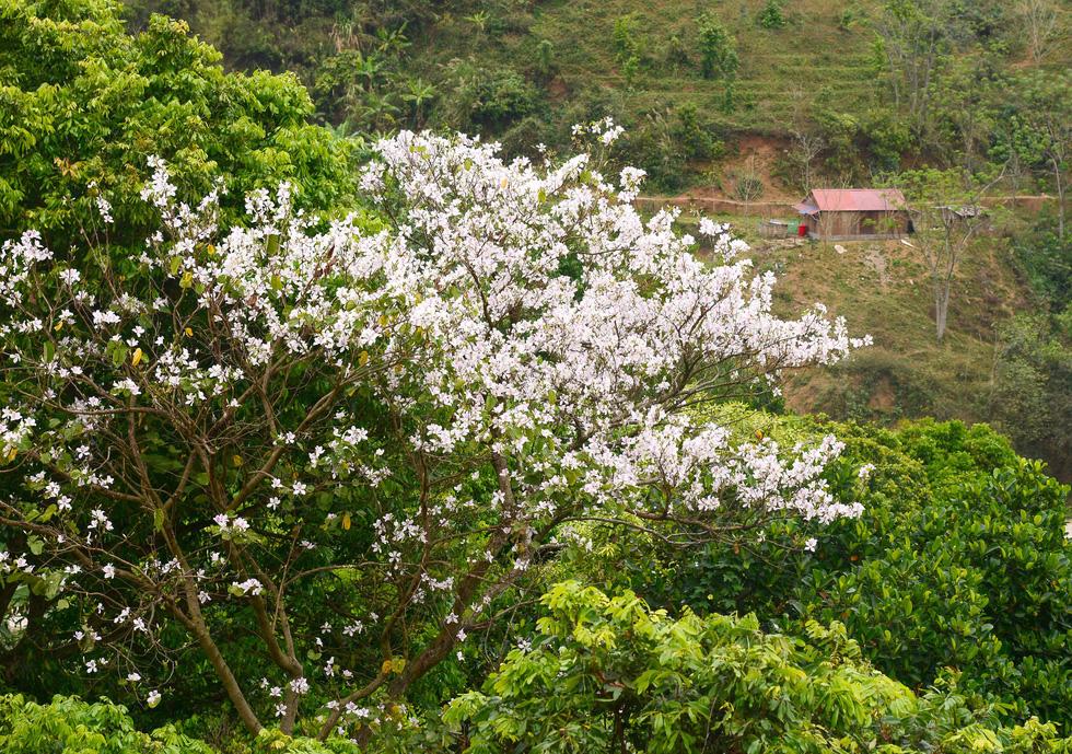 Cung đường 100km ngắm hoa ban rực rỡ miền Tây Bắc - Ảnh 3.