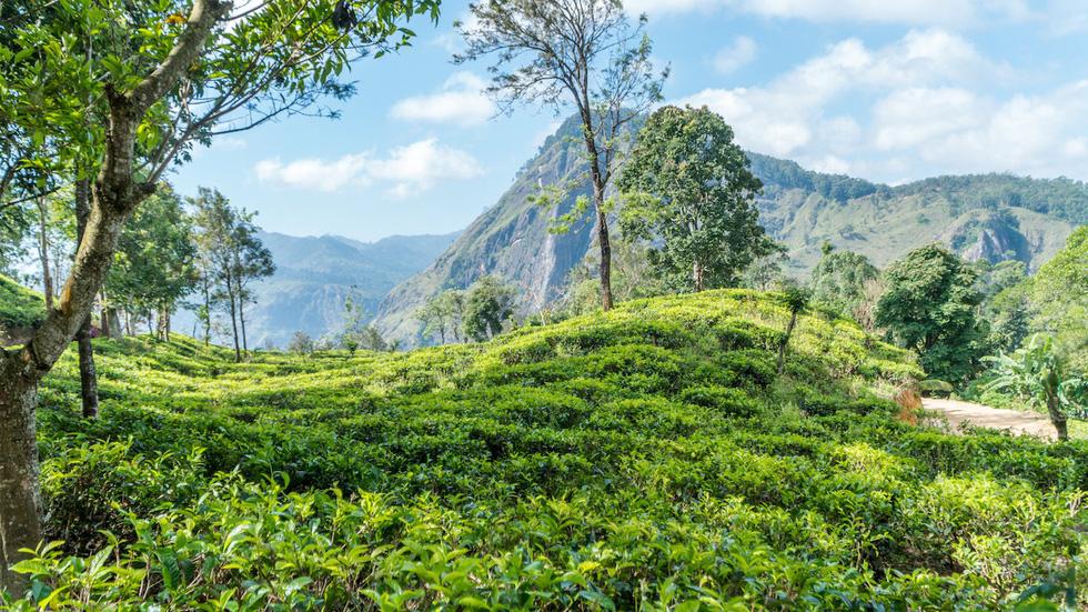Băng qua những đồi chè xanh mướt ở Sri Lanka - Ảnh 1.