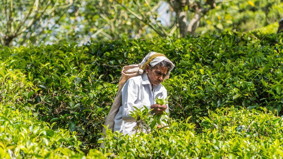 Băng qua những đồi chè xanh mướt ở Sri Lanka - Ảnh 3.