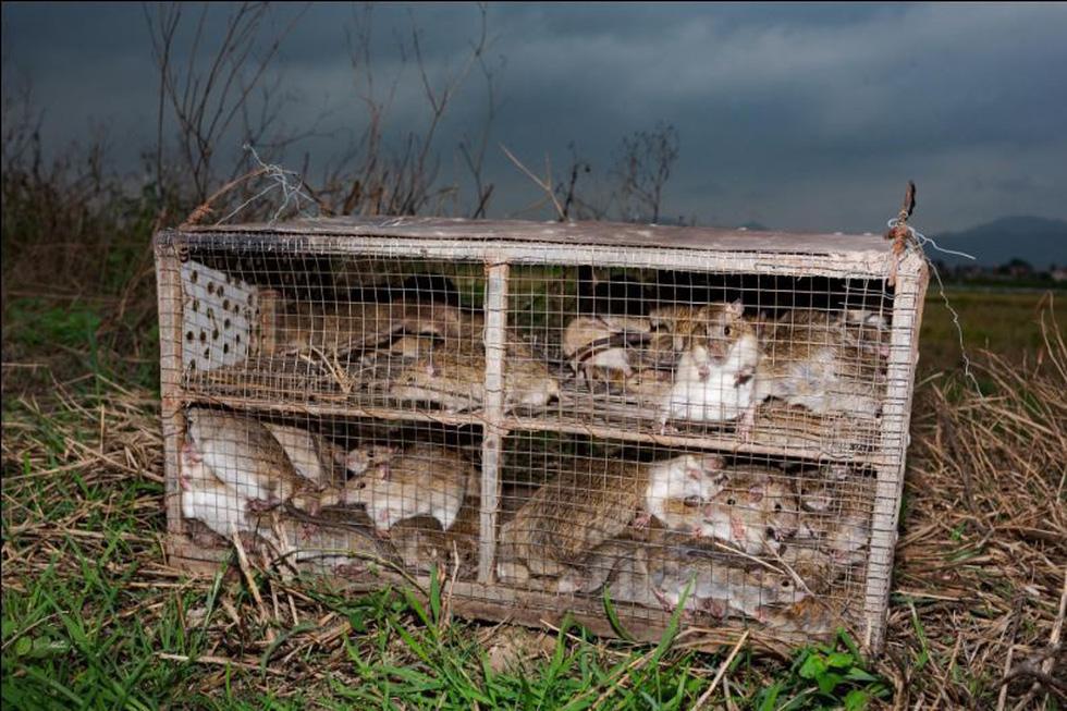 Đặc sản thịt chuột của Việt Nam lên tạp chí National Geographic - Ảnh 2.