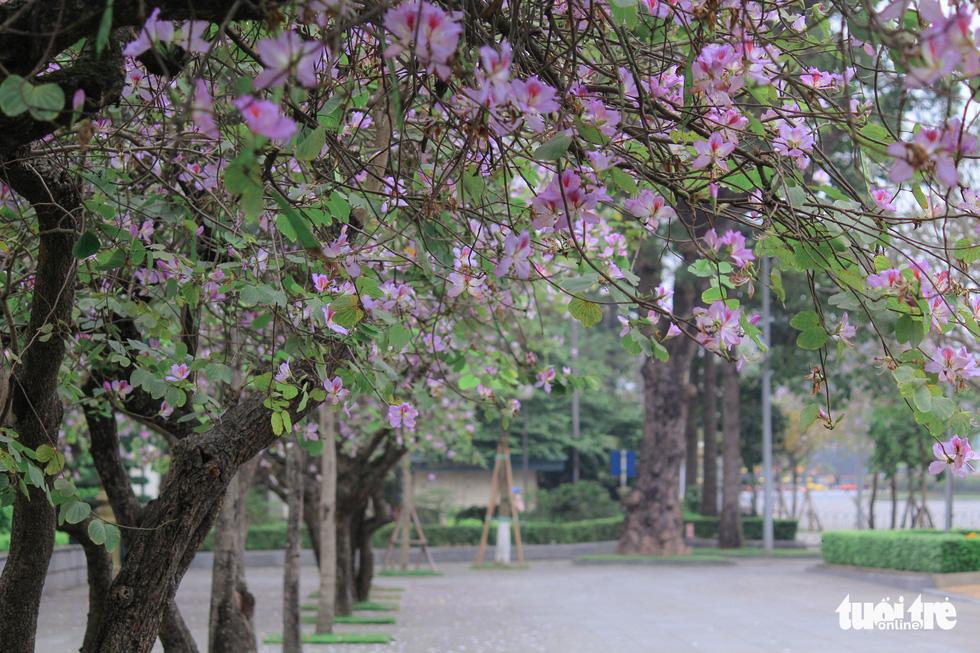 Tháng 3 hoa ban tràn về Hà Nội - Ảnh 12.